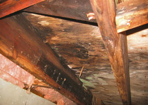Extensive crawl space rot damage growing in Dickson