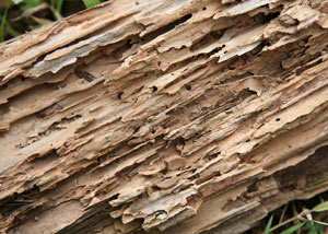 Termite-damaged wood showing rotting galleries outside of a Antioch home